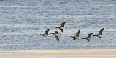 Pale-bellied Brent Geese (Branta bernicla hrota) (c)Martin Kitching/Northern Experience Images