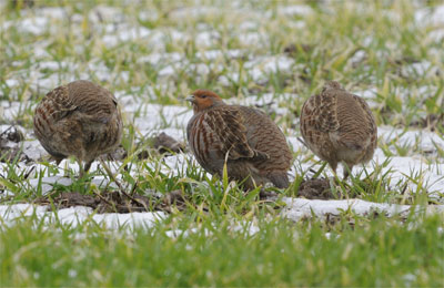 Partridges...nowhere near a Pear tree