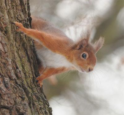 Northumberland's iconic mammal