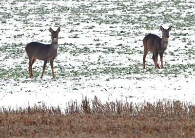 Roe doe and Roe buck