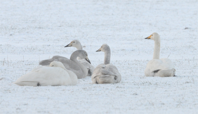 Whooper Swans near Bell's Farm
