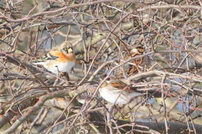 Brambling and Reed Buntings