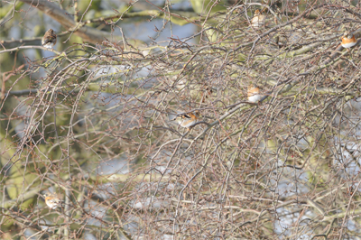 5 of the Bramblings