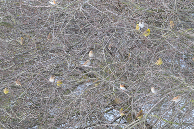 Mixed flock in a hedge, a warming winter birdwatching sight