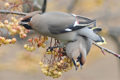 Waxwings stacked on top of each other