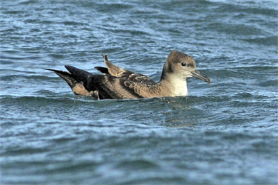 Pelagic, Birdwatching Northumberland, Sooty Shearwater
