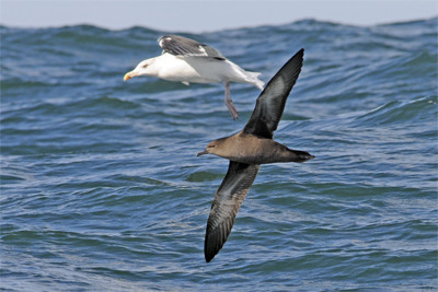 Pelagic Birdwatching Northumberland Sooty Shearwater
