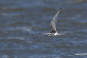 White-winged Black Tern, a Northumberland birdwatching highlight 15/09/2010