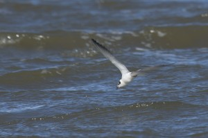 Highlight of a day birdwatching on the Northumberland coast 15/09/2010