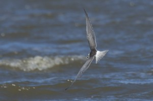 White-winged Black Tern, Northumberland, Birdwatching