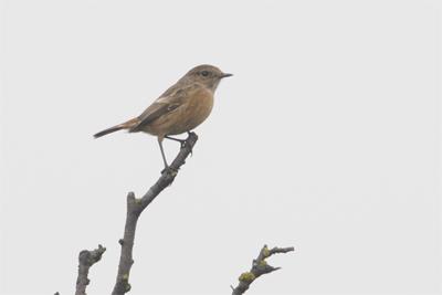 Stonechat, Birdwatching