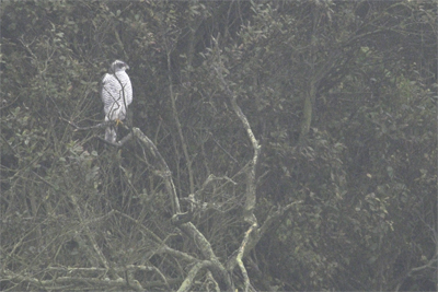 Northern Goshawk, birdwatching