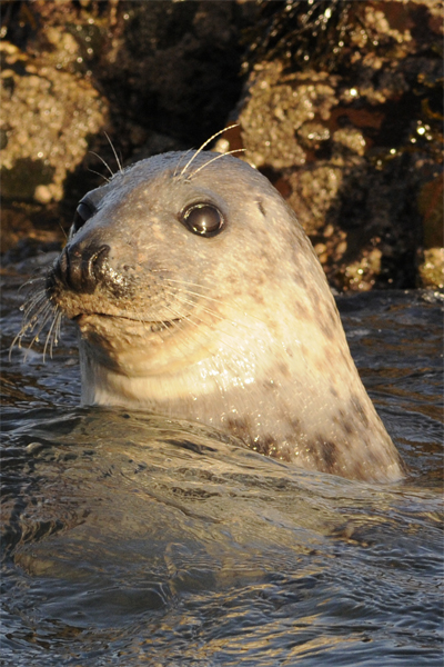 Grey Seal, Offshore wildlife photography, Northumberland, 11/12/2010
