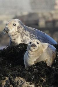 Grey Seal, offshore wildlife photography, Northumberland 11/12/2010