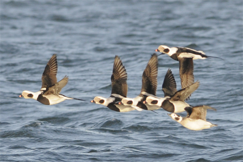 Long-tailed Ducks on an offshore birdwatching trip, Northumberland 11/12/2010