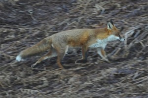 Red Fox, wildlife photography, nature photography, wildlife photography tuition, wildlife photography training, wildlife photography courses, Northumberland