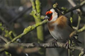 European Goldfinch, bird photography, wildlife photography
