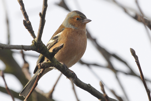 Chaffinch, bird photography, wildlife photography