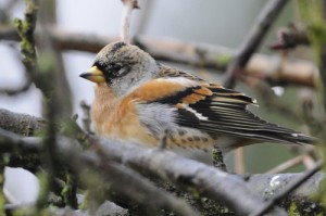 Brambling, bird photography, wildlife photography