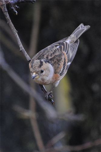 Brambling, bird photography, wildlife photography