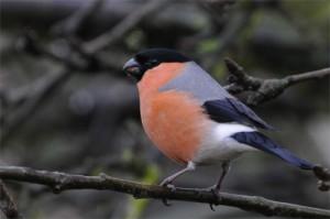 Bullfinch, bird photography, wildlife photography