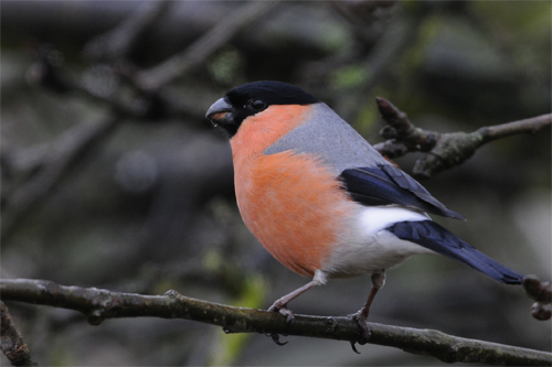 Bullfinch, bird photography, wildlife photography