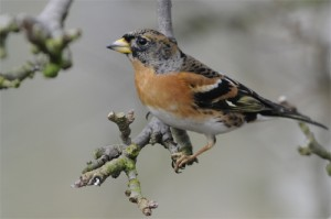 Brambling, bird photography, Northumberland