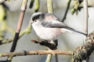 Long-tailed Tit, bird photography, Northumberland