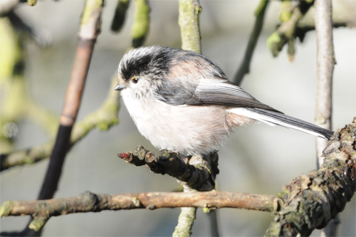 Long-tailed Tit, bird photography, Northumberland