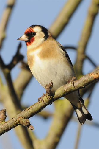 Goldfinch, bird photography, Northumberland