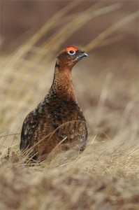 Red Grouse, bird photography, wildlife photography tuition, wildlife photography holidays, wildlife photography courses
