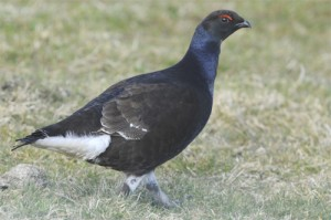 Black Grouse, bird photography, wildlife photography tuition, wildlife photography holidays, wildlife photography courses