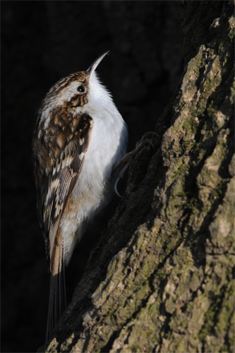 Treecreeper, bird photography, photography tuition, photography courses, photography holidays