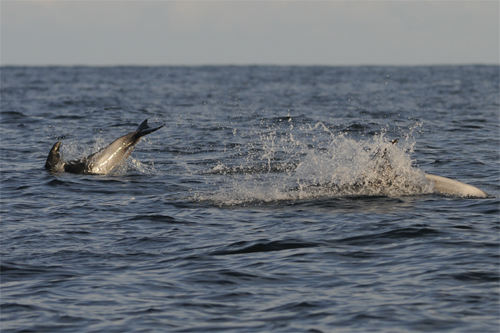 White-beaked Dolphin,dolphin watching trips,whale watching trips,Northern Experience Wildlife Tours