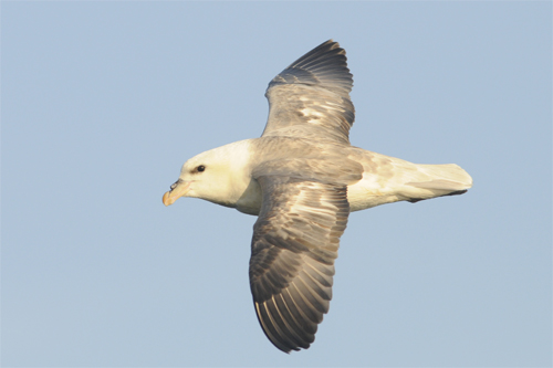 Northern Fulmar,Northumberland,bird photography courses,wildlife photography tuition