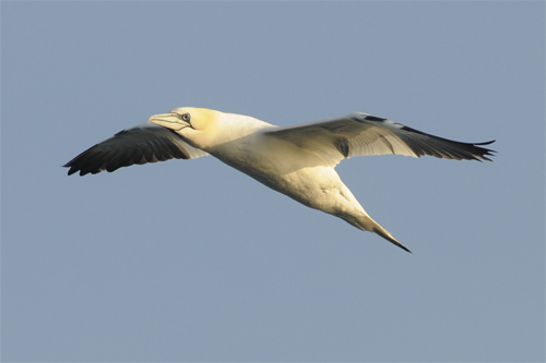 Northern Gannet,Northumberland,bird photography tuition,wildlife photography tuition,pelagic trips