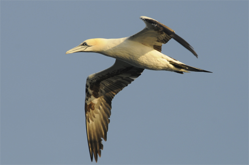 Northern Gannet,Northumberland,bird photography courses,bird photography holidays,wildlife photography holidays,pelagic trips