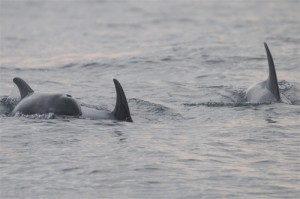 White-beaked Dolhin, Northumberland,dolphin watching trips,whale watching trips,wildlife photography holidays