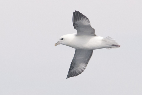Northern Fulmar,bird photography,pelagic birdwatching,Northumberland