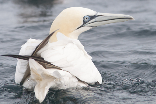 Northern Gannet,bird photography,pelagic birdwatching,Northumberland