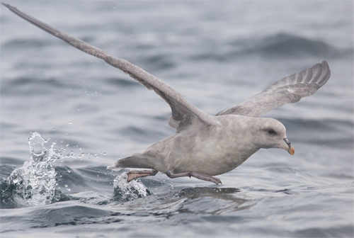 blue Fulmar,bird photography,pelagic birdwatching,Northumberland