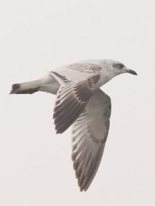 Mediterranean Gull,bird photography,pelagic birdwatching,Northumberland