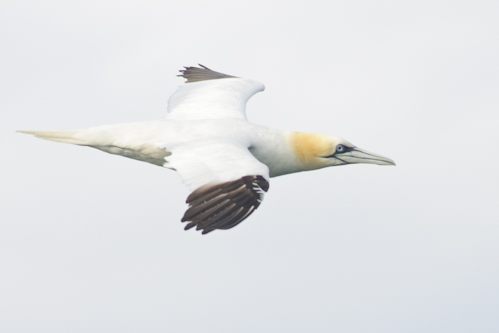 Gannet,Northumberland,offshore wildlife trips,pelagic trips,birdwatching