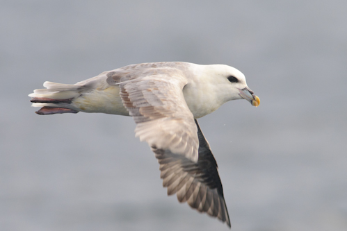 Fulmar,offshore wildlife watching,pelagic trips,Northumberland,birdwatching