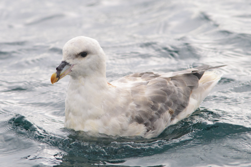Blue Fulmar,offshore wildlife watching,pelagic trips,Northumberland,birdwatching