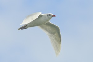 Mediterranean Gull,offshore wildlife watching,pelagic trips,Northumberland,birdwatching