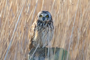 Short-eared Owl,Asio flammeus,Northumberland,bird photography courses