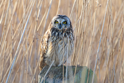 Short-eared Owl,Asio flammeus,Northumberland,bird photography courses