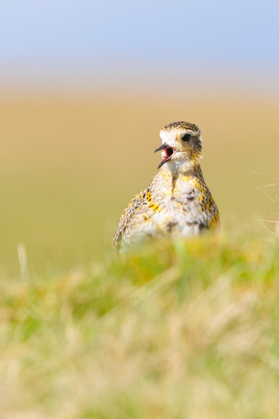 Golden Plover,North Pennines AONB,bird photography tuition,bird photography holidays
