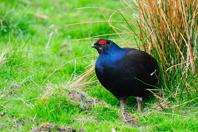 Black Grouse,North Pennines AONB,bird photography holidays,bird photography tuition